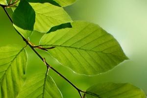 Frische Blätter im Frühling
